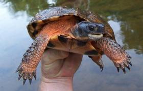 Conowago Turtle