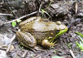 Stony Creek Frog