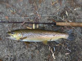 big york county wild brownie