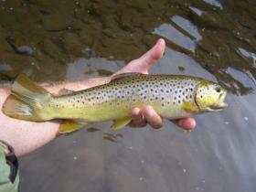 Muddy Creek Wild Brown