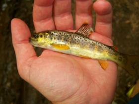 wild brown trout small stream Tioga County