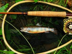 medium sized wild brookie - Tioga small stream
