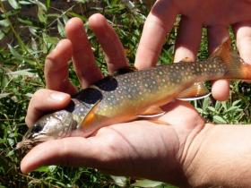 Native Brookie on Piney run