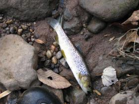 Wild brown from small SEPA stream