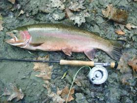 Colorful Steelhead