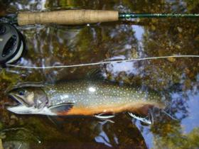 Big Hunting Creek Hold Over Brookie