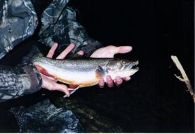 Wild trout?
